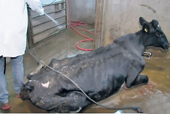 Secret filming shows sick cows slaughtered for meat in Poland