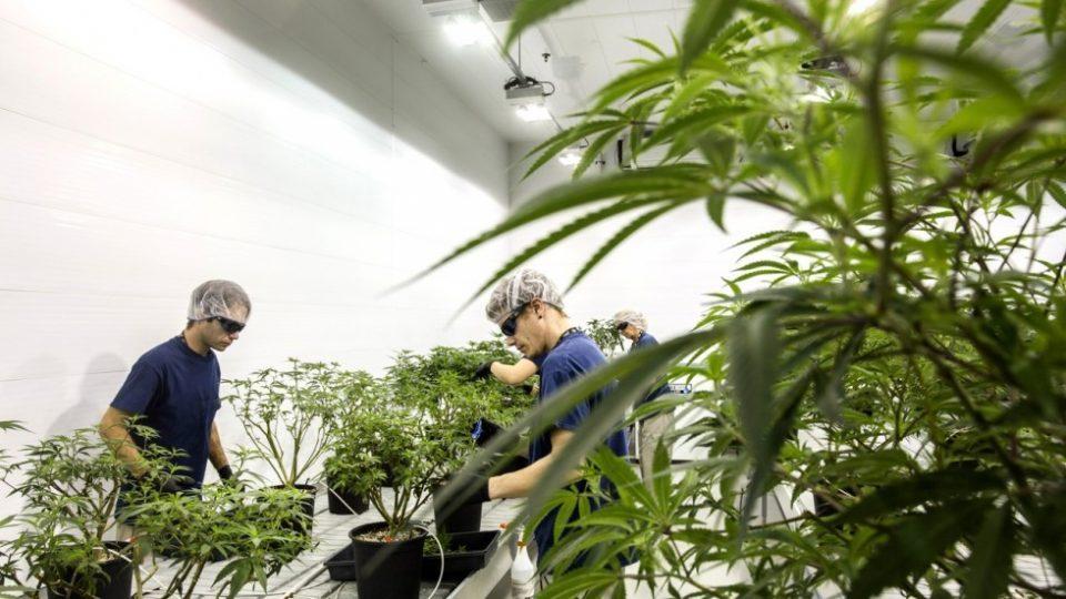 "Zaev expects 300 ""green"" jobs from the marijuana business"