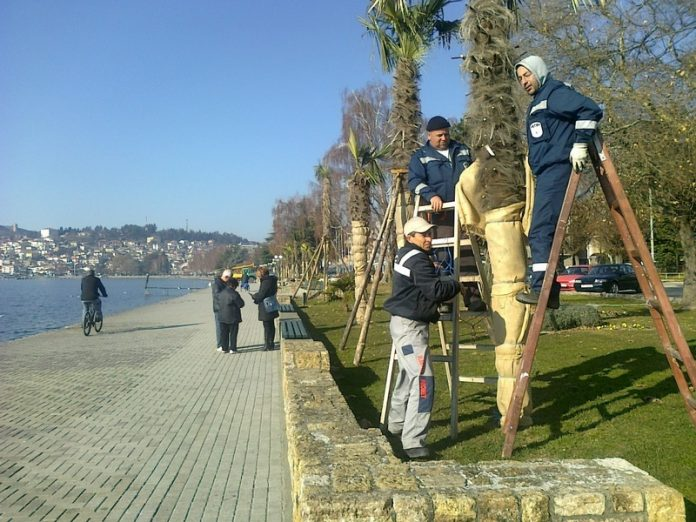 The mayor of Ohrid gave order to remove 250 palm trees