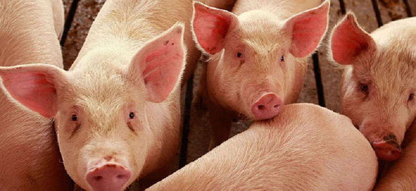 Macedonia stops pork imports from Serbia to prevent the spread of the African swine fever