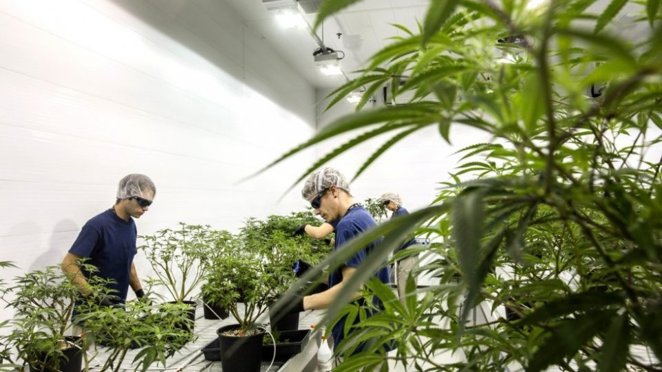 """""""Nicob"""" owner's mother got cannabis cultivation license"""