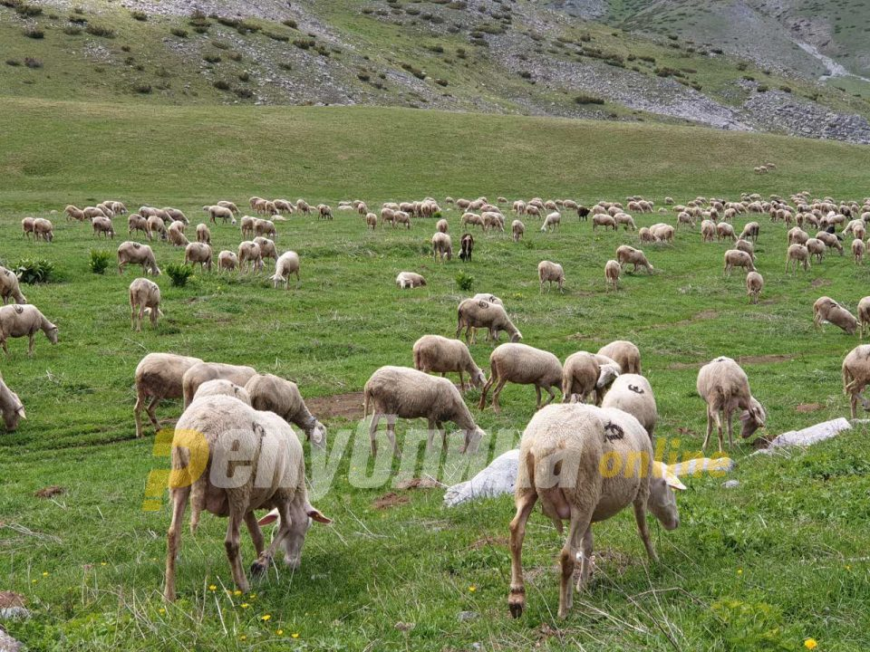 Bluetongue disease identified in a dozen sheep near Kicevo and Makedonski Brod