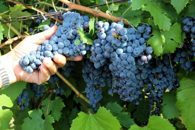 VMRO demands urgent assistance for farmers as grape prices reach record lows