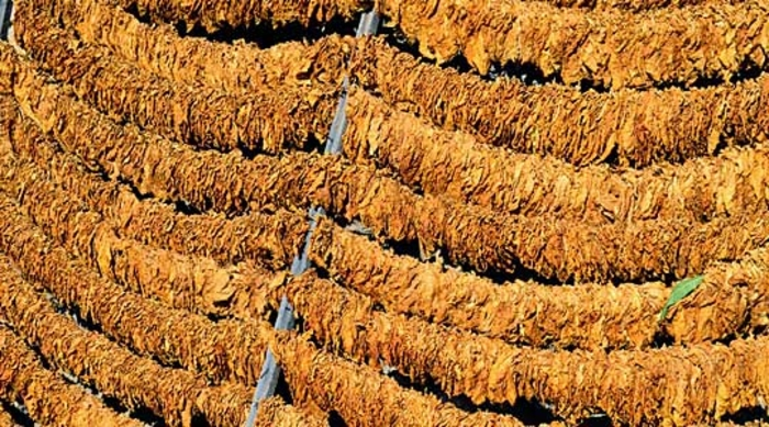 Tobacco farmers angry at the price they're getting for this year's harvest