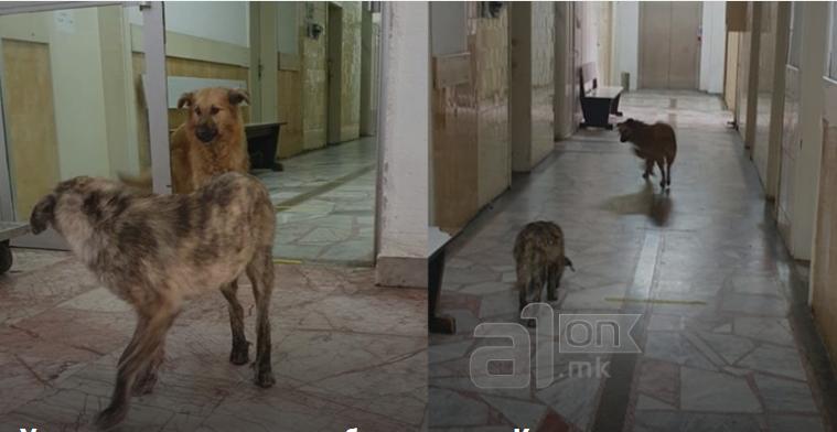Stray dogs wander through the corridors of the Kicevo Covid center